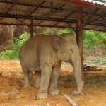 молодой слон