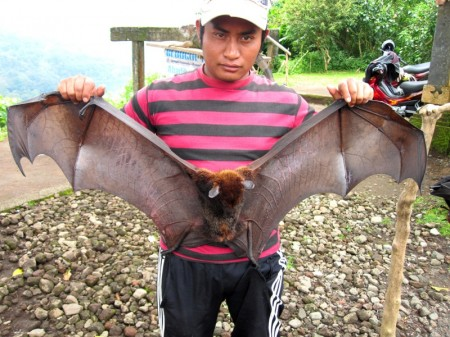 летучая собака Бали