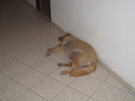 Jenny - хозяйская собака