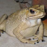 жаба пхукетская