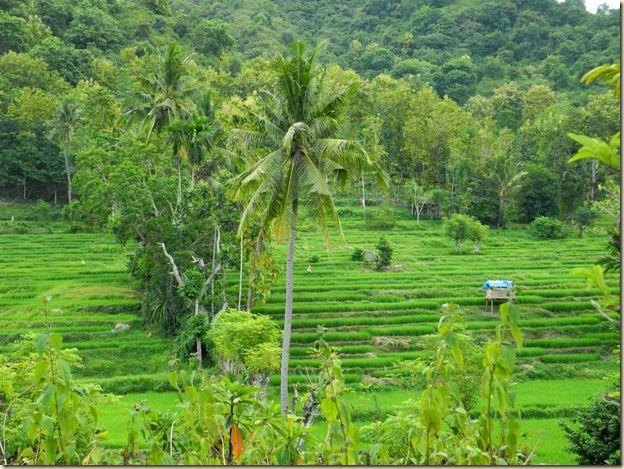 Рисовые поля восточной Сумбавы
