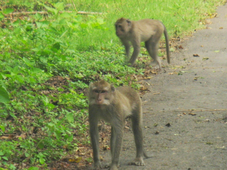 балийские макаки