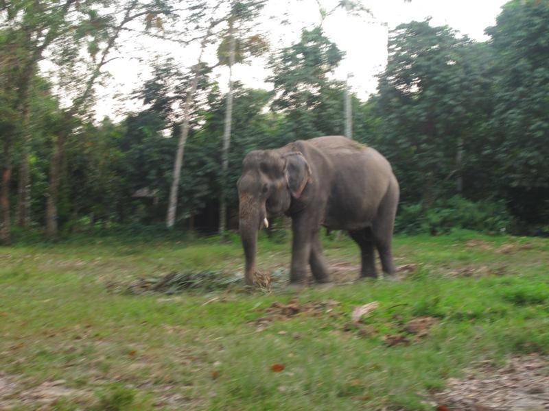 слон, который гуляет сам по себе