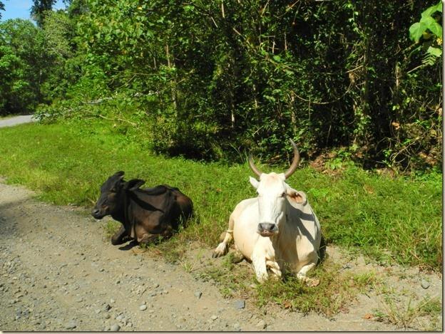Рогатые коровы