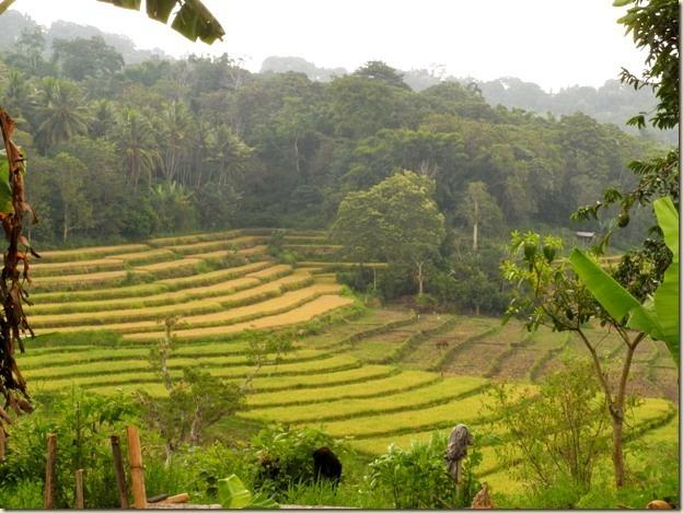 Рисовые поля на Флоресе не хуже балийских